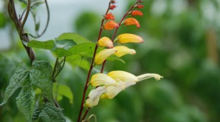 Mina lobata - Pépinière Plantes Etc