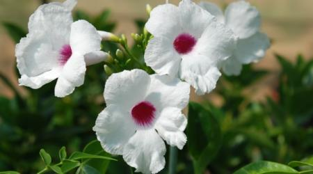 Pandorea jasminoides - Pépinière Plantes Etc