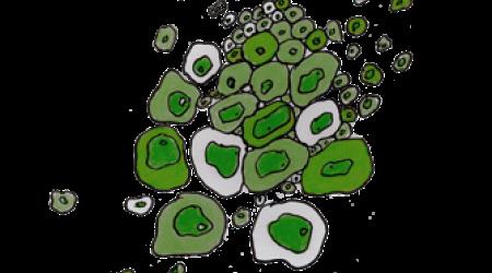 Jasminum nitidum - Pépinière Plantes Etc