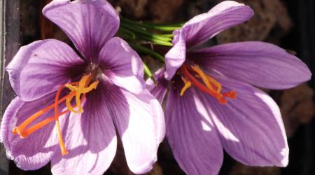 Crocus sativus - Safran - Pépinière Plantes Etc