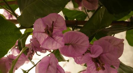 Bougainvillier violet de Mèze - Pépinière Plantes Etc