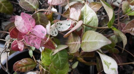 Trachelospermum asiaticum tricolor - Pépinière Plantes Etc