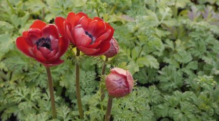 Anemone coronaria - Pépinière Plantes Etc