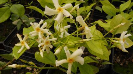 Trachelospermum asiaticum - Plantes Etc