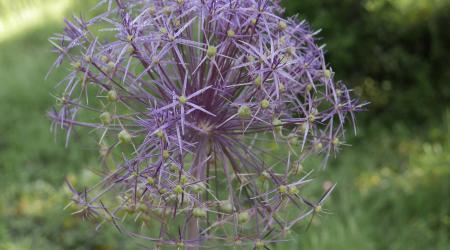 Allium cristophii - Pépinière Plantes Etc